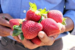 Deliciously sweet: California strawberries
