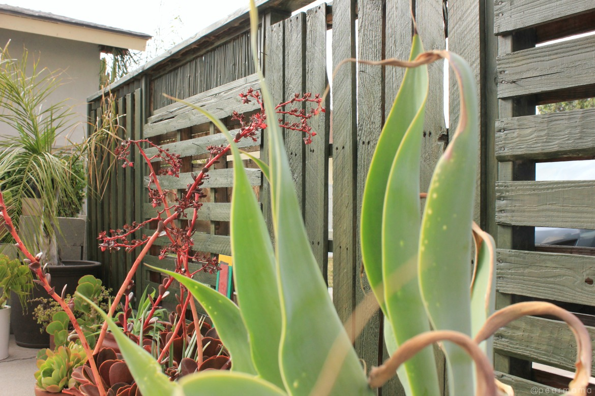 stained-pallet-wall-agave-plants-pearmama